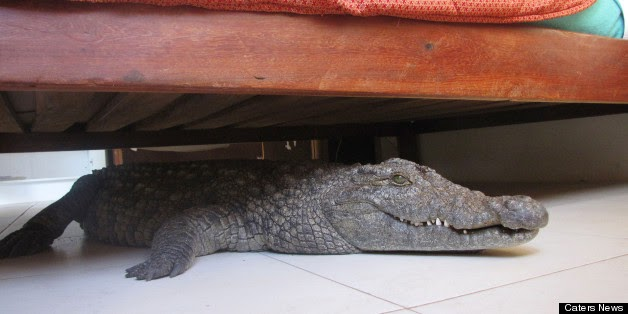 Photo of Crocodile Hid Under Bed In Zimbabwe Lodge While Blissfully Unaware Man Slept