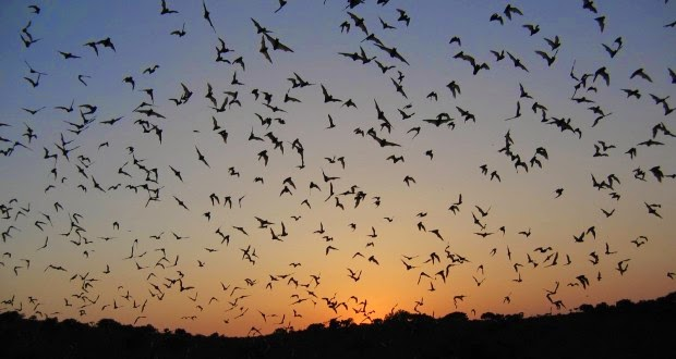 Photo of Bats invade Bia District in W/R
