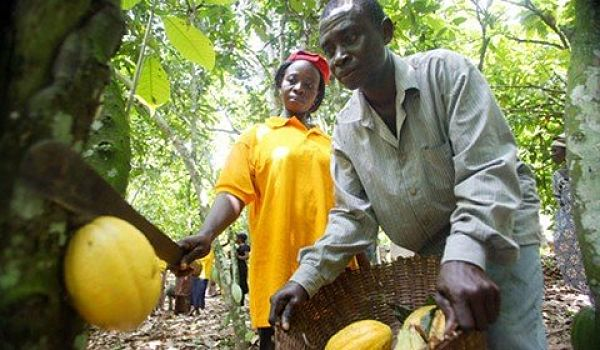 Photo of Ghana To Introduce New Cocoa Variety On World Market | When Was The Last Time You Used A Cocoa Product?