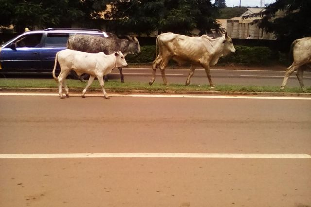 Photo of Sunyani Gradually Becoming A Lawless City | Cows Crosses The Road Anyhow; Are We Living In The Jungle? (Photos Inside)