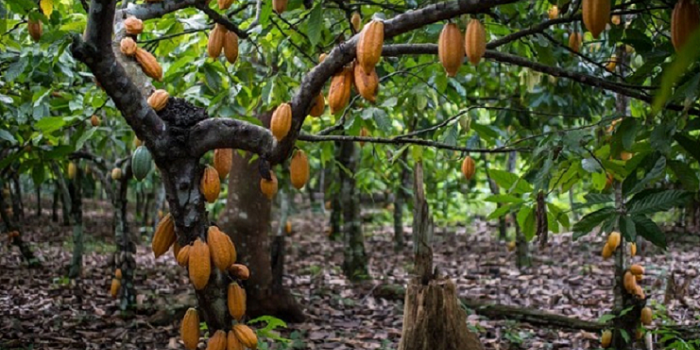 Photo of Youth Targeted For Cocoa Production In Dormaa