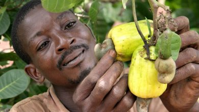 Photo of Cashew Farmers Appealed To Government For Immediate Price Interventions
