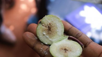 Photo of CSIR Confirms Wiamosease Fruit As A Fig Tree And Not Apple – Read The Statement